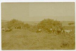 Foto Kolonie, Rinder auf der Weide in Deutsch-Südwestafrika