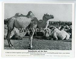 """III. Reich - gedrucktes Pressefoto """" Kamelherde auf der Rast """" 26.10.1943"""