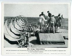 "III. Reich - gedrucktes Pressefoto "" Wie riesige Tabaksblätter "" 16.4.1943"