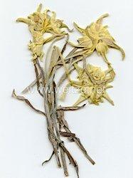 Edelweiss Blumen